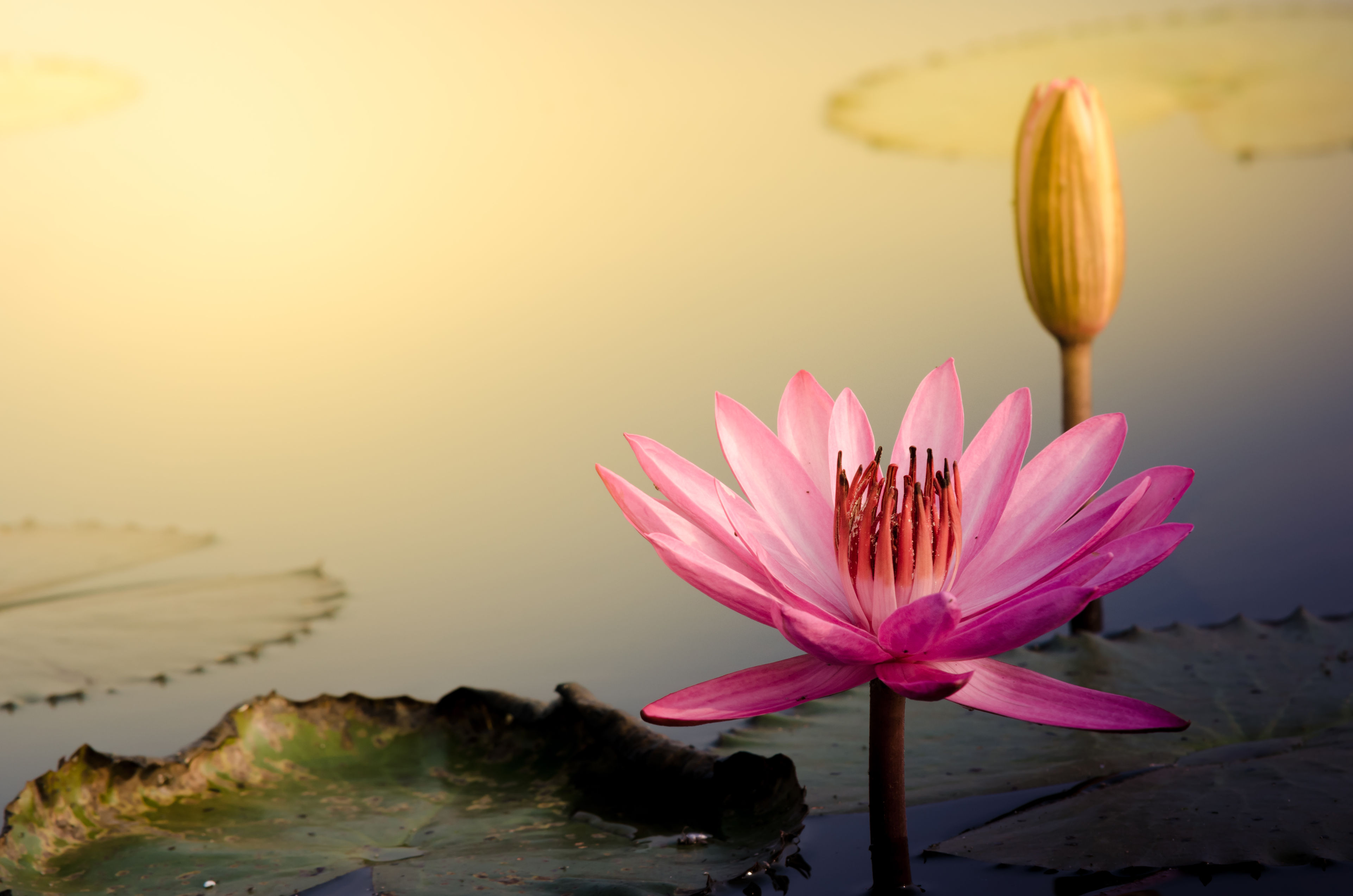 36486155 The Pink Lotus Flower Qi Delight